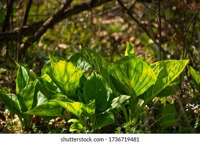 A cluster of skunk cabbage growiing in a northeast Ohio woods at the beginning of spring
