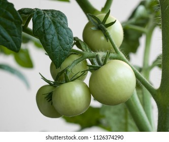 Cluster of small green tomatoes growing on the cherry tomato plant