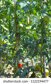 A cluster of staked tomato bushes. They are covered with green tomatoes and a single red tomato.