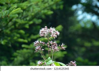 A cluster of Sweet Joe Pye Weed Wildflowers along the Klingman's Dome trail, Smoky Mountains National Park, North Carolina.
