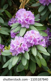 Cluster of three pink rhododendron flowers with green leaves