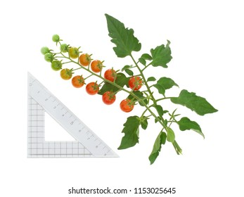 Cluster of tiny red tomatoes on vine , Solanum pimpinellifolium. Isolated on white. With centimtre scale.