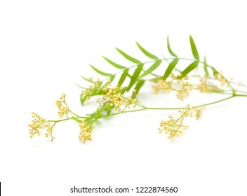cluster of tiny white flowers of Peruvian pepper tree Schinus molle isolated on white