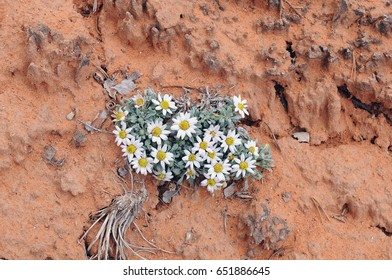 Cluster of Townsend wildflowers growing on desert cliff at Mesa Verde, Colorado adds color and life to the orange sandstone.
