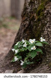 Cluster of trillium flowers blooming on the forest floor in Ontario.