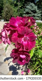 Cluster of two-tone, purplish red roses against the garden beds in the street on a summer sunny day.