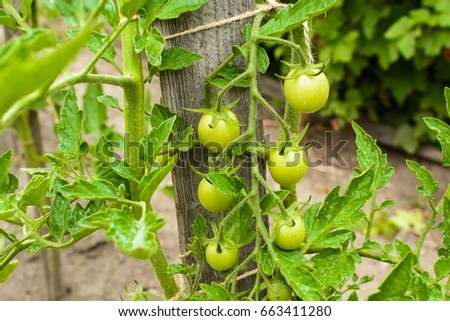 Cluster unripe green tomatoes in the garden. Homemade vegetables without chemical fertilizers.