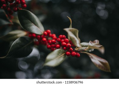 A cluster of vibrant, red berries adorn a branch of mistletoe on a Winter day.
