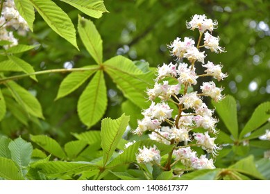 Cluster with white chestnut flowers. White chestnut blossom with tiny tender flowers and green leaves background. Horse chestnut flower with selective focus. Horse chestnut blossoming in springtime.