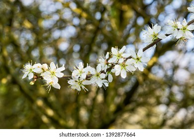 Cluster of white Hawthorn blossom growing in the spring sunlight.