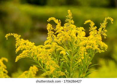 Cluster of yellow goldenrod flowers / solidago
