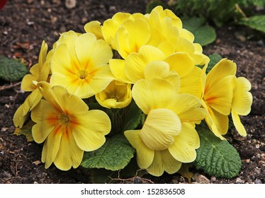 A cluster of yellow primroses
