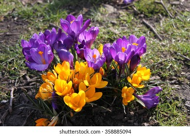 Cluster of yellow and purple Crocus longiflorus with sun shining through petals