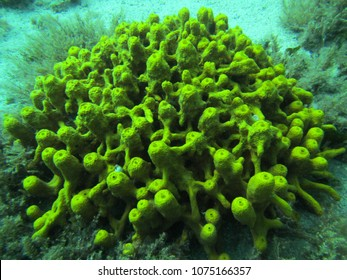 Cluster of yellow sea sponge in Hvar Island waters - Dalmatia - Croatia