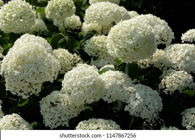 A Clustered 'Annabelle' Hydrangea (Hydrangea Arborescens) Flowering Shrub. Annabelle Is The Best Known Variety Of Smooth Hydrangea. This Is Commonly the Only Found Or Known Variety By The Mass Public.