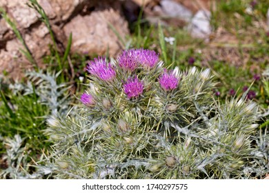 A clustered head of Purple Starthistle or Red Starthistle (Centaurea calcitrapa) growing high in the Picos de Europa, Cantabria, Spain.
