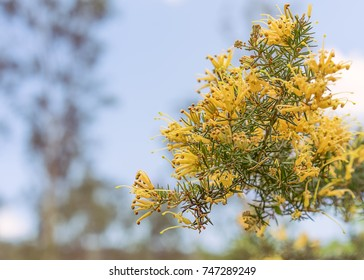 Clusters of apricot yellow fllowers of Australian Grevillea juniperina also known as gold cluster grevillea, juniper-leaf grevillea and prickly spider-flower