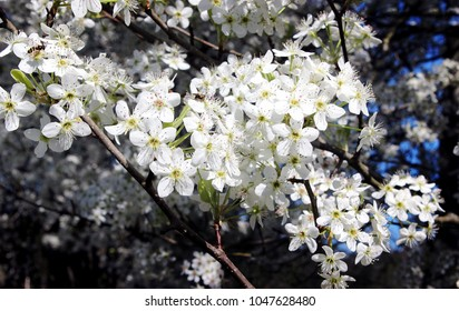 Clusters of Blooming Flowers on a Pear Tree