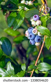 Clusters of colorful, ripening blueberries on a blueberry bush in early summer