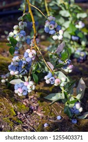Clusters of colorful, ripening blueberries outside on a blueberry bush in early summer