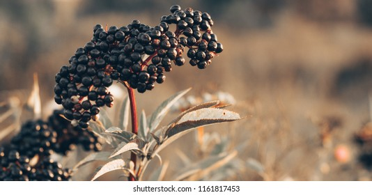 Clusters fruit black elderberry in garden in sun light (Sambucus nigra). Common names: elder, black elder, European elder, European elderberry and European black elderberry.