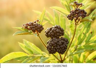 Clusters fruit black elderberry in garden in sun light (Sambucus nigra). Common names: elder, black elder, European elder, European elderberry and European black elderberry.