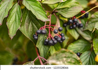 Clusters fruit black elderberry in garden in sun light (Sambucus nigra). Common names: elder, black elder, European elder, European elderberry and European black elderberry