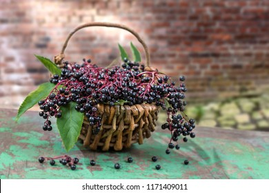 Clusters fruit black elderberry (Sambucus nigra) and leaves in the basket elder, black elder, European elder and European black elderberry