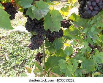 Clusters of grapes vine at harvest time