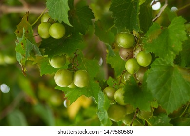 Clusters of Green Muscadine Grapes