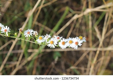 Clusters of heath aster flowers