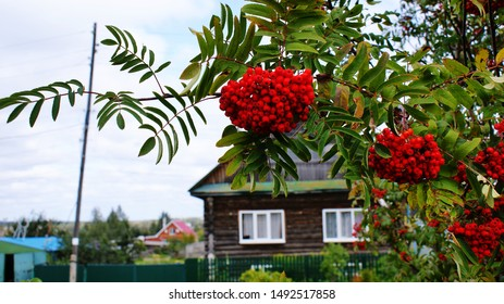 Clusters of mountain ash, and wood house, autumn