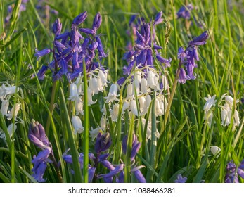 Clusters of native bluebell flowers (Hyacinthoides non-scripta in British woodland.