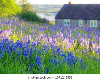 Clusters of native bluebell flowers (Hyacinthoides) in a in a British meadow in Herefordshire.