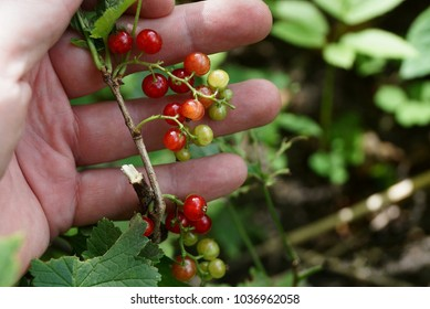 Clusters of red currant berries on a branch with leaves in hand
