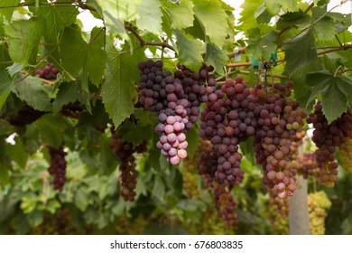 Clusters of red grape in grapevine