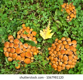 clusters of sheathed woodtuft mushrooms