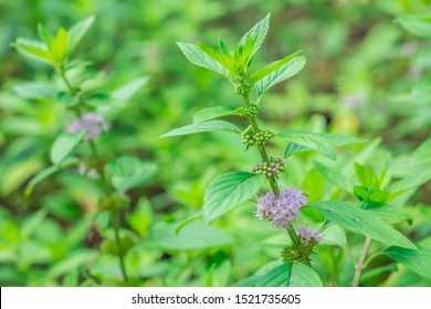 Clusters of small purple flowers of Japanese mint, Corn mint, Field mint (Mentha Canadensis) are blooming with fresh green leaves on the annual plants in herbal garden