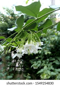 Clusters of small white downward facing flowers of Water Jasmine (Wrightia religiosa)