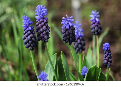 Clusters of tiny bell shaped blue flowers of the grape hyacinth, or  'Muscari latifolium'.