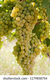 Clusters of white grapes hanging on a vine in Spain.