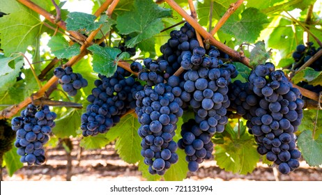 Clusters of Wine Grapes