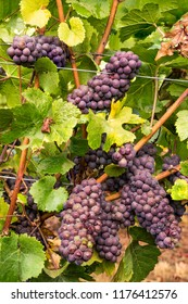 Clusters of Wine Grapes on the Vine Ripening Ready for Harvest