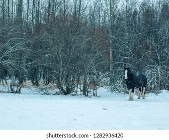 Clydesdale Braving the Snow Storm on an Alberta Farm, Huddle against the Tree Line