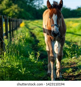 Clydesdale cross thoroughbred foal in field