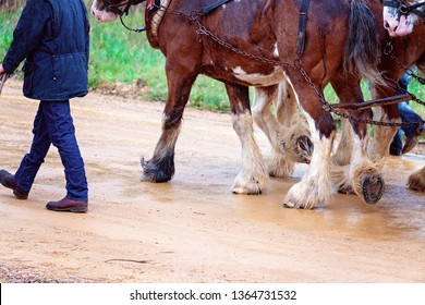 Clydesdale draft horses team pulling a cart in the rain. Close up of hairy legs. Rain drops in photo.