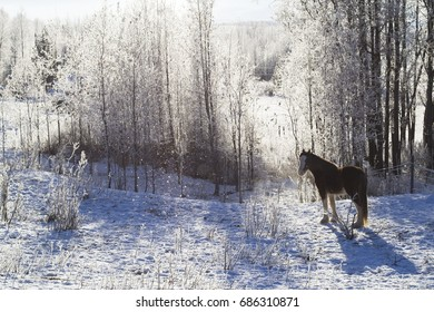 Clydesdale horse in a field on a sunny winter day.