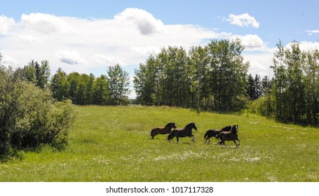 Clydesdale Horse Galloping through the Summer Green Pastures littered with Daisies.