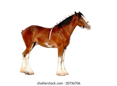Clydesdale horse isolated
