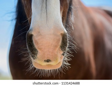 Clydesdale Horse Nose